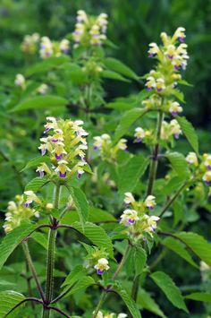 Galeopsis speciosa (Large-flowered hemp-nettle