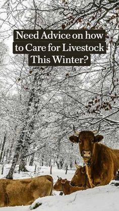 Homestead Layout, Homestead Farm, Cold Mountain, Mountain High, Cattle Farming, Livestock, Raising Farm Animals, Micro Farm, Mini Cows