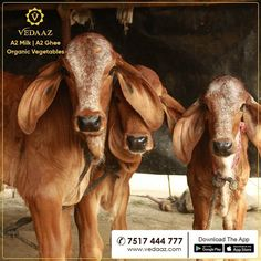 We are Pune's Milk Brand. Our milk is organic milk from desi cows. We deliver farm fresh organic vegetables at your doorstep in the morning. Milk Brands, Organic Vegetables, Go Green, Cows, Desi, Calves, Healthy Living, Girly, India