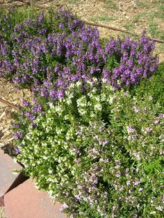 Angelonia in the Entry garden