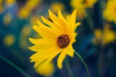 📌 Sunflower Flower Yellow - download photo at Avopix.com for free    👉 https://avopix.com/photo/12624-sunflower-flower-yellow    #sunflower #flower #yellow #plant #summer #avopix #free #photos #public #domain