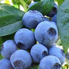 Blueberry Plants | ScotPlants Direct
