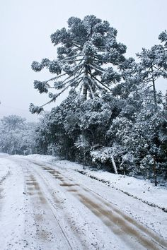 Araucarias covered by snow. Urubici, Santa Catarina, Brazil.