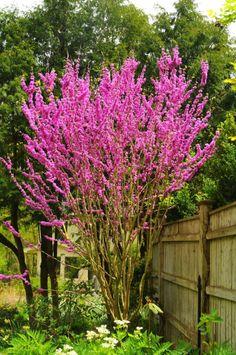 Rose Garden Design, Garden Landscape Design, Small Garden Design, Flowering Bushes, Trees And Shrubs, Little Gardens, Back Gardens, Backyard Plants, Fence Plants