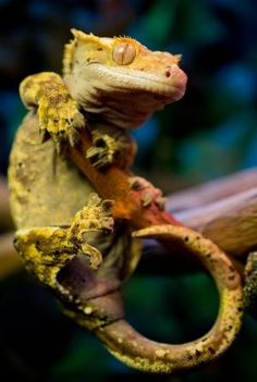 Crested Gecko by beverley