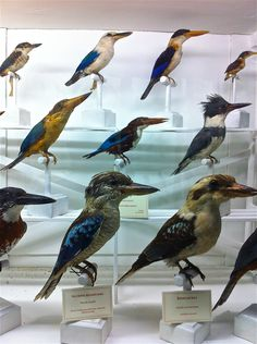 kingfishers, incl. australian kookaburras in front row