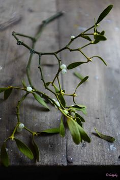 Mistletoe is also known as birdlime, all-heal, golden bough, drudenfuss, iscador and devil's fuge.  There are several different species of this plant.   #winter #holidays #myt