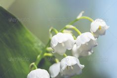 Realistic Graphic DOWNLOAD (.ai, .psd) :: http://hardcast.de/pinterest-itmid-1006769146i.html ... Lilly of the valley ...  blossom, blue, field, floral, flores, flower, forest, grass, grassland, green, landscapes, lilly of the valley, lily, meadow, nature, petal, season, small, spring, summer, sun, sunny, white  ... Realistic Photo Graphic Print Obejct Business Web Elements Illustration Design Templates ... DOWNLOAD :: http://hardcast.de/pinterest-itmid-1006769146i.html
