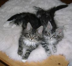 Maine Coon Cats. My Nanny had one for years!! She was beautiful! Would love to have one some day!