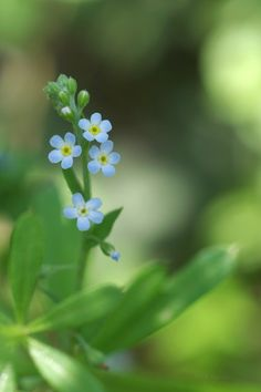 胡瓜草きゅうりぐさ 花の直径は3-5mm Cucumber herb (Trigonotis peduncularis)