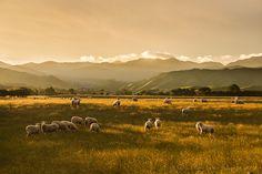 Golden Sunset - North of Masterton, Wairarapa, - North Island, New Zealand  : Sisson ~