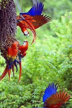 Scarlet Macaws (Ara macao), Corcovado National Park, Costa Rica
