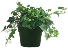 English Ivy Care Plant - How to Grow & Maintain English Ivies   Apartment Therapy Azalea Shrub, Pony Tail Palm, Ivy Plant Indoor, English Ivy Plant, Outdoor Gardens, Indoor Outdoor, Living English, Easy Care Plants, Ivy Plants