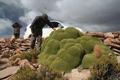 Llareta in the Atacama desert
