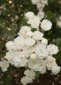 "Cottage Roses - Gourmet Popcorn-Small Shrub | have an old blue bucket that says ""popcorn"". might plant this shrub is size is right."