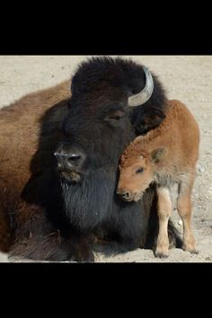 bison mom and baby Baby Buffalo, Buffalo Art, Moose Pictures, Animal Pictures, American Animals, American Bison, Cute Baby Animals, Animals And Pets, Beautiful Creatures