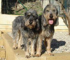 Griffon Nivernais Puppy Dog Unique Dog Breeds, Rare Dog Breeds, Popular Dog Breeds, All Dogs, Dogs And Puppies, Griffon Nivernais, Border Collie Mix, Hunting Dogs, Corgi