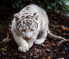 beautiful-wildlife: White Tiger Cub by Jean-Claude Sch. Baby White Tiger, White Tiger Cubs, White Lions, Amur Leopard, Cheetah Animal, Snow Leopard, Lynx, Gato Grande, Baby Tigers