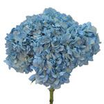 Blue Hydrangea Flower- also in season in June! This would look good with the bicolor roses! Country Wedding Flowers, Diy Wedding Flowers, Wedding Ideas, Wedding Bouquets, Hydrangea Bridal Bouquet, Hydrangea Flower, Hydrangeas, List Of Flowers, Types Of Flowers