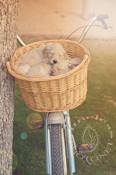 Timeless Photography by Dana Kaupie » Capturing Distinctive Images in Arizona Since 2003-goldendoodles. {Golden Retriever Puppies} {Pet Photography} {Dog} {Puppies} {Photo Session Ideas} {Pet Portraits} {Puppy}