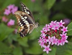 Constantine's Swallowtail Butterfly in flight  feeding on Pentas Lanceolata, Wings of the Tropics, Fairchild Tropical Botanic Garden.