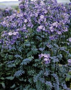 POLEMONIUM YEZOENSE PURPLE RAIN  The lacy foliage is deep bronze-purple on dark stems during winter and spring changing to green during summer. In early summer the large violet-blue flowers contrast well against the dark foliage.  Size (fully grown):   50 x 40cm. Evergreen / Part Shade