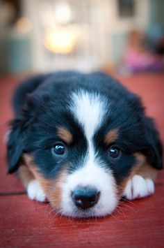 Bernese Mountain Puppy ahh my favorite