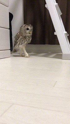 Tricky owl