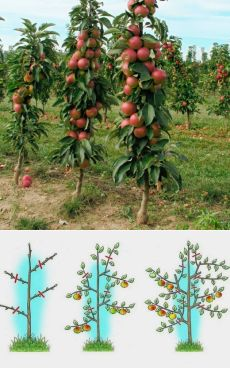 Fruit Garden, Edible Garden, Vegetable Garden, Garden Plants, Espalier Fruit Trees, Dwarf Fruit Trees, Grafting Plants, Garden Trellis, Outdoor Plants