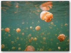 Palau - Swim in jellyfish lake on Eil Malk island