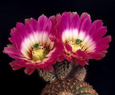 Echinocereus-pectinatus