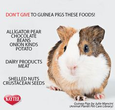 Foods to avoid feeding to your guinea pig. All pets, no matter how small, deserve all the love you can give! Remember, always consult your vet before introducing any new foods to your pets. This is an exclusive limited edition engraving only sold Baby Guinea Pigs, Guinea Pig Care, Pet Pigs, Food For Guinea Pigs, Caring For Guinea Pigs, Diy Guinea Pig Toys, Diy Guinea Pig Cage, Guinea Pig Hutch, Pig Information