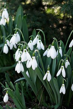 Theses are Snowbells..