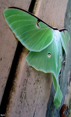 Luna moths die after mating.