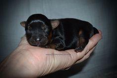 Yorkshire Terrier puppy for sale in GRAYSON, LA. ADN-47740 on PuppyFinder.com Gender: Male. Age: Under 1 Week Old