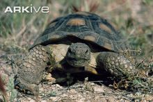 Desert tortoise videos, photos and facts - Gopherus agassizii Types Of Turtles, Tortoise Care, Fun Deserts, Tortoises, Pet Care, Reptiles, Cactus, Pets, Raising