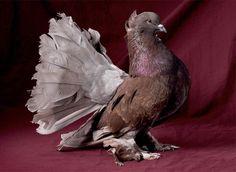 beautiful-pigeons-postcards-2-pigeon-postacrds