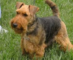 Murphy will have a friend and it will be a Welsh Terrier.  His name will be Winston.