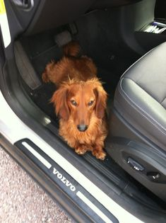 Red long hair dachshund. Toaster Dachshund Funny, Dachshund Breed, Long Haired Dachshund, Daschund, Dapple Dachshund, Small Dog Breeds, Small Dogs, Best Apartment Dogs, Architecture Design