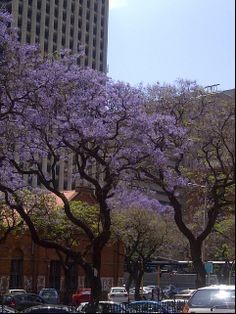 Jacarandas, People, Afrikaans, Capital of South Africa Purple City, Port Elizabeth, Table Mountain, Kruger National Park, Pretoria, African Animals, Afrikaans, Africa Travel, South Africa