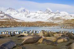 Southern Elephant Seal (Mirounga leonina) group on beach during breeding season, St. Andrews Bay, South Georgia Island