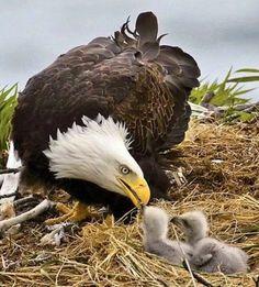 Eagle & her 2 eaglets!  :)