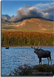 Incredible wildlife - like this Maine moose - is waiting for you when you travel inland in Maine. Shin Pond, ME
