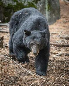 FIELD JUDGING – Black Bear | HUNTING | Bear, Bear Hunting