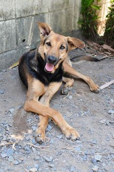 Please ADOPT Me. My name is Shelby. Email all questions or enquiries to alex@soidog.org I had been living on the streets, fending for myself for 2 years and doing OK. I became very sick and with no one to look after me the will to live was fading from me rapidly. https://www.facebook.com/SoiDogPageInEnglish/photos/a.862198917155178.1073743017.108625789179165/862198980488505/?type=1&theater