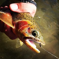 This fish is just too pretty. #Pheasanttailnymph @ontarioflyco #blackfoot #river#iflyfishmontana #photgrapher #ifish #instyle #montana #montanaflyfishing #montanagram #montanamoment #montanalife #fishing #flyfishing #flyfishingjunkie #flyfishingaddict #flyfishinglife #flyfishingnation #onthefly #trout #catchandrelease #repyourwater #troutbum #instagood #ilovefishing #iphone6s #iphone6sphotography #flyfishingphotography by iflyfishmontana Follow \