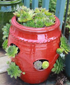 Hens and Chicks- succulents outdoors