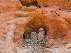 Great Horned Owl Bird Photography Southwest Wall Art Print Baby Owls in Nest on Red Cliffs