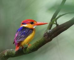 Black-backed Kingfisher Photograph  - Black-backed Kingfisher Fine Art Print