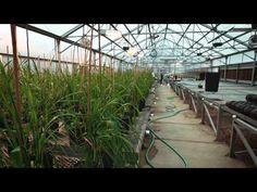 OSU helps wheat farmers make dough - YouTube